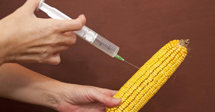 Espiga de milho sendo injetada com estrógeno que podem causar câncer e esterilidade