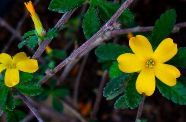 planta damiana afrodisíaco